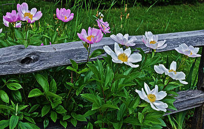 Photograph - 2015 Summer's Eve Neighborhood Garden Front Yard Peonies 2 by Janis Nussbaum Senungetuk