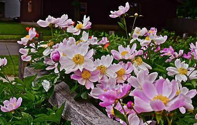Photograph - 2015 Summer's Eve Neighborhood Garden Front Yard Peonies 4 by Janis Nussbaum Senungetuk