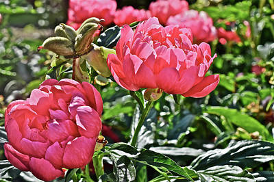 Photograph - 2016 Early June Coral Magic Peonies by Janis Nussbaum Senungetuk