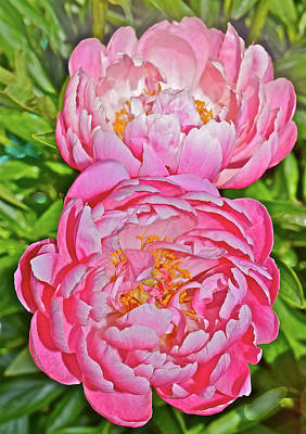Photograph - 2016 Early June Coral Supreme Peonies by Janis Nussbaum Senungetuk