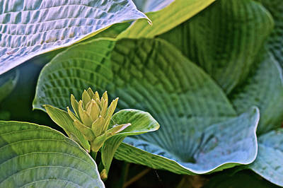 Photograph - 2016 Early June Hosta by Janis Nussbaum Senungetuk