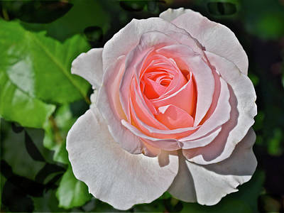 Photograph - 2016 Early June Johann Strauss Floribunda Rose by Janis Nussbaum Senungetuk