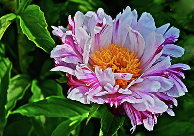 Photograph - 2016 Early June Pink Lauau Peony by Janis Nussbaum Senungetuk