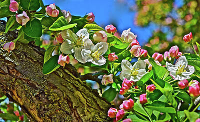 Photograph - 2016 Early May King Arthur Crabapple by Janis Nussbaum Senungetuk