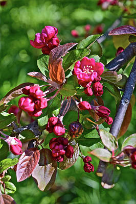 Photograph - 2016 Early May Meadow Garden Crabapple by Janis Nussbaum Senungetuk