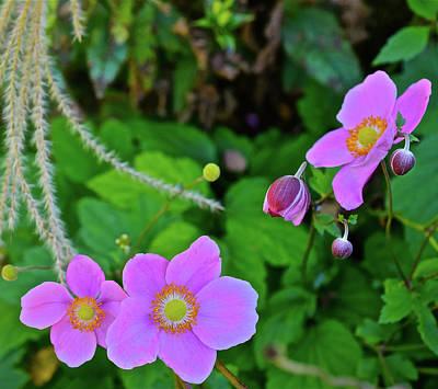 Photograph - 2016 Early October Garden Anemone by Janis Nussbaum Senungetuk