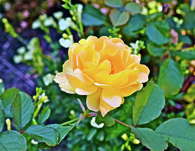 Photograph - 2016 Early October Yellow Rose by Janis Nussbaum Senungetuk