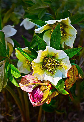 Photograph - 2016 Early Spring Lenten Rose 2 by Janis Nussbaum Senungetuk
