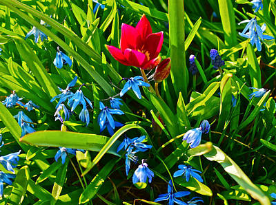 Photograph - 2016 Early Spring Persian Pearl Tulip And Squill 1 by Janis Nussbaum Senungetuk