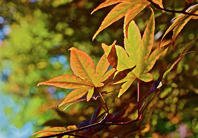 Photograph - 2016 Japanese Maple In The Sunlight by Janis Nussbaum Senungetuk