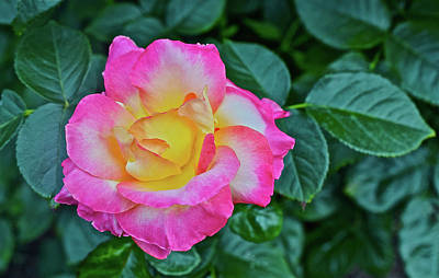 Photograph - 2016 July At The Garden Love And Peace  Rose 2 by Janis Nussbaum Senungetuk