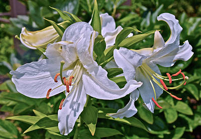 Photograph - 2016 July  At The Garden White Lilies by Janis Nussbaum Senungetuk