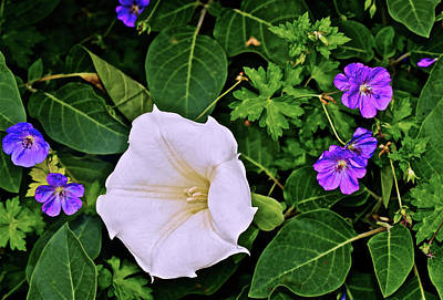 Photograph - 2016 Late August At The Garden Datura And Geraniums by Janis Nussbaum Senungetuk