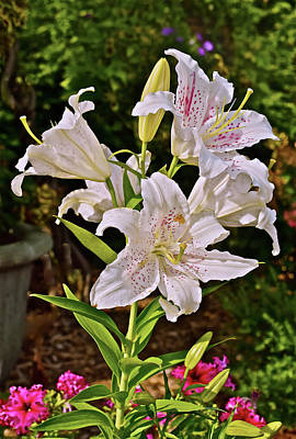 Photograph - 2016 Late August At The Garden Delightful White Lilies by Janis Nussbaum Senungetuk