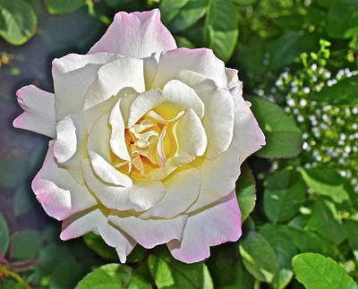 Photograph - 2016 Late August At The Garden White Rose by Janis Nussbaum Senungetuk
