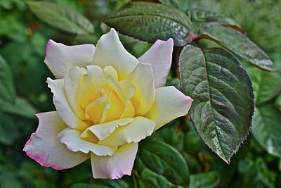 Photograph - 2016 Late August At The Garden White Rose 2 by Janis Nussbaum Senungetuk