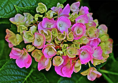 Photograph - 2016 Late June Hydrangea Close-up by Janis Nussbaum Senungetuk