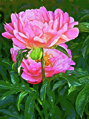 Photograph - 2016 Late May Coral Magic Peony 2 by Janis Nussbaum Senungetuk