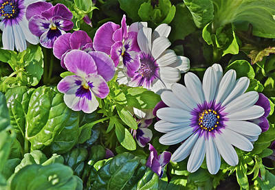 Photograph - 2016 Late May Pansies And Daisies by Janis Nussbaum Senungetuk