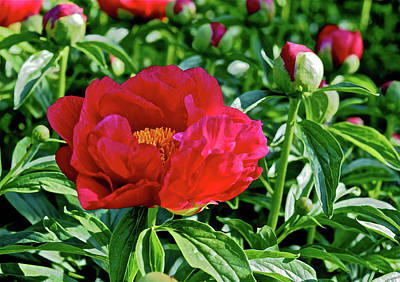 Photograph - 2016 Late May Ruby Slippers Peony by Janis Nussbaum Senungetuk