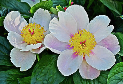 Photograph - 2016 Late May White Peonies by Janis Nussbaum Senungetuk