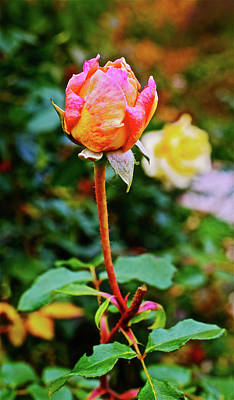 Photograph - 2016 Late October Rosebud by Janis Nussbaum Senungetuk
