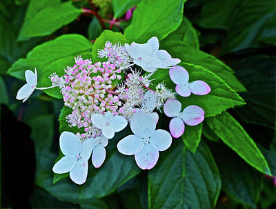 Photograph - 2016 Late September Hydrangea by Janis Nussbaum Senungetuk