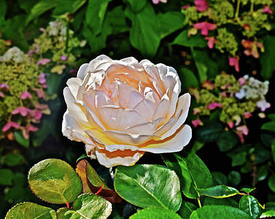 Photograph - 2016 Late September White Rose by Janis Nussbaum Senungetuk