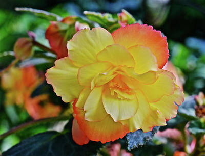 Photograph - 2016 Mid June Apricot Begonia 2 by Janis Nussbaum Senungetuk