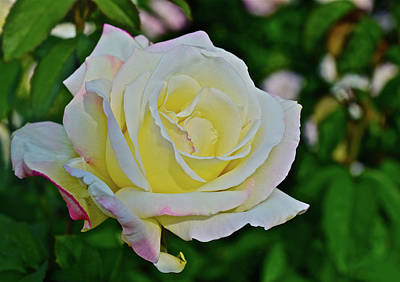 Photograph - 2016 Mid June Garden Party Hybrid Tea Rose by Janis Nussbaum Senungetuk