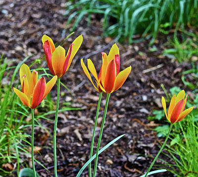 Photograph - 2016 Mid May Meadow Garden Tulips by Janis Nussbaum Senungetuk
