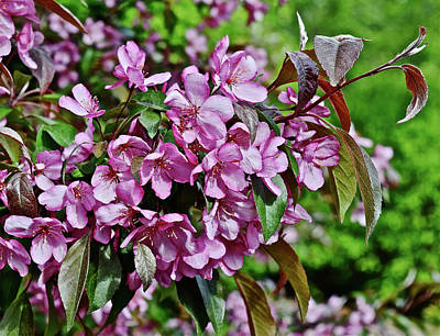 Photograph - 2016 Mid May Oramental Crabapple by Janis Nussbaum Senungetuk
