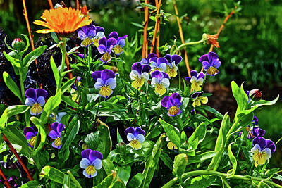Photograph - 2016 Mid May Pansy Container Garden 1 by Janis Nussbaum Senungetuk
