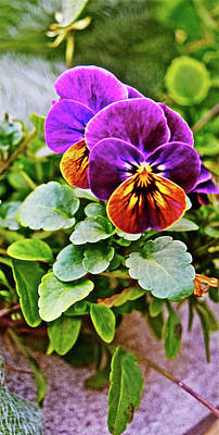 Photograph - 2016 Mid November Pansies by Janis Nussbaum Senungetuk