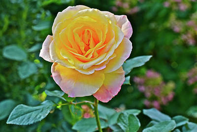 Photograph - 2016 Mid October At The Garden Day Breaker Floribunda Rose by Janis Nussbaum Senungetuk