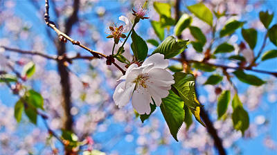 Photograph - 2016 Olbrich Cherry Blossoms 2 by Janis Nussbaum Senungetuk