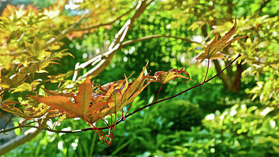 Photograph - 2016 September At The Garden Japanese Maple by Janis Nussbaum Senungetuk