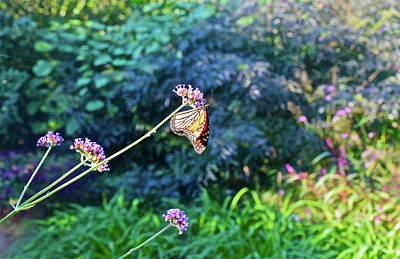 Photograph - 2016 September Garden Monarch 1 by Janis Nussbaum Senungetuk
