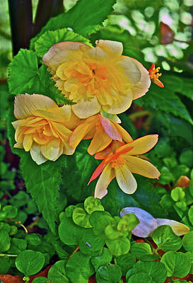 Photograph - 2016 Summer's Eve Apricot Begonia 1 by Janis Nussbaum Senungetuk