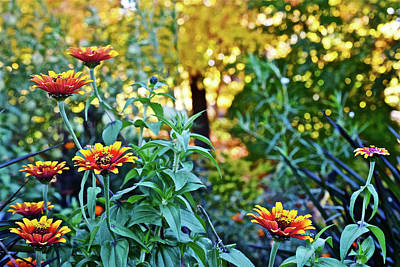 Photograph - 2016  Zinnias In The Fall Sunlight by Janis Nussbaum Senungetuk