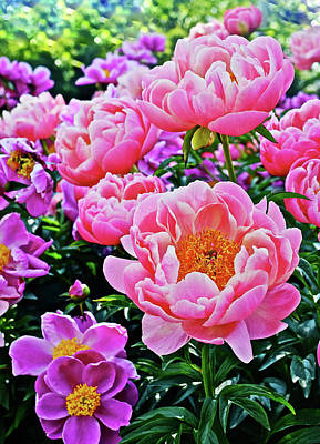 Photograph - 2017 Early June Neighborhood Peonies 1 by Janis Nussbaum Senungetuk