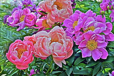 Photograph - 2017 Early June Neighborhood Peonies 2 by Janis Nussbaum Senungetuk