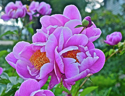 Photograph - 2017 Early June Neighborhood Peonies 3 by Janis Nussbaum Senungetuk