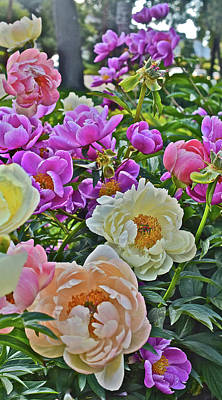 Photograph - 2017 Early June Neighborhood Peonies 4 by Janis Nussbaum Senungetuk