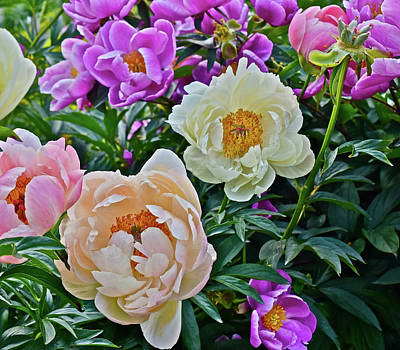 Photograph - 2017 Early June Neighborhood Peonies 5 by Janis Nussbaum Senungetuk