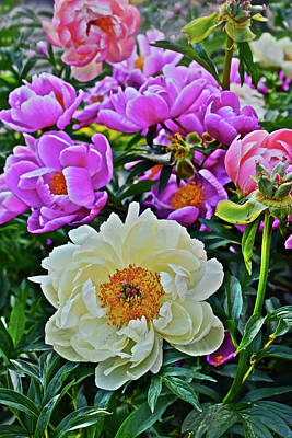 Photograph - 2017 Early June Neighborhood Peonies 6 by Janis Nussbaum Senungetuk