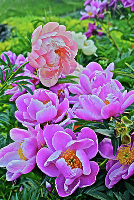 Photograph - 2017 Early June Neighborhood Peonies 7 by Janis Nussbaum Senungetuk