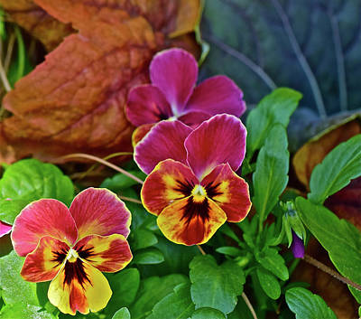 Photograph - 2017 Early May At The Garden Spring Pansies by Janis Nussbaum Senungetuk