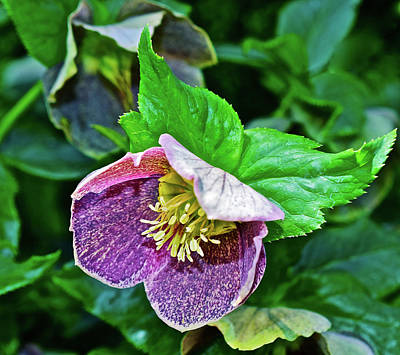 Photograph - 2017 Early May At The Gardens Lenten Rose by Janis Nussbaum Senungetuk