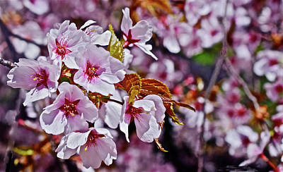 Photograph - 2017 Earthday Olbrich Gardens Fuji Cherry 1 by Janis Nussbaum Senungetuk